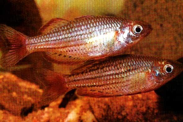 Меланотениевые. Рыбы Костные. Отряд. Атеринообразные.